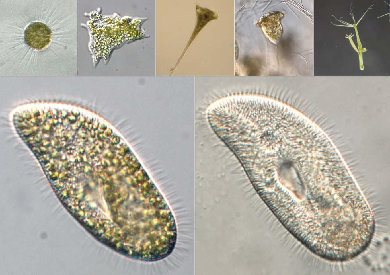 共生クロレラを持つ生物たち/></p> <p align=