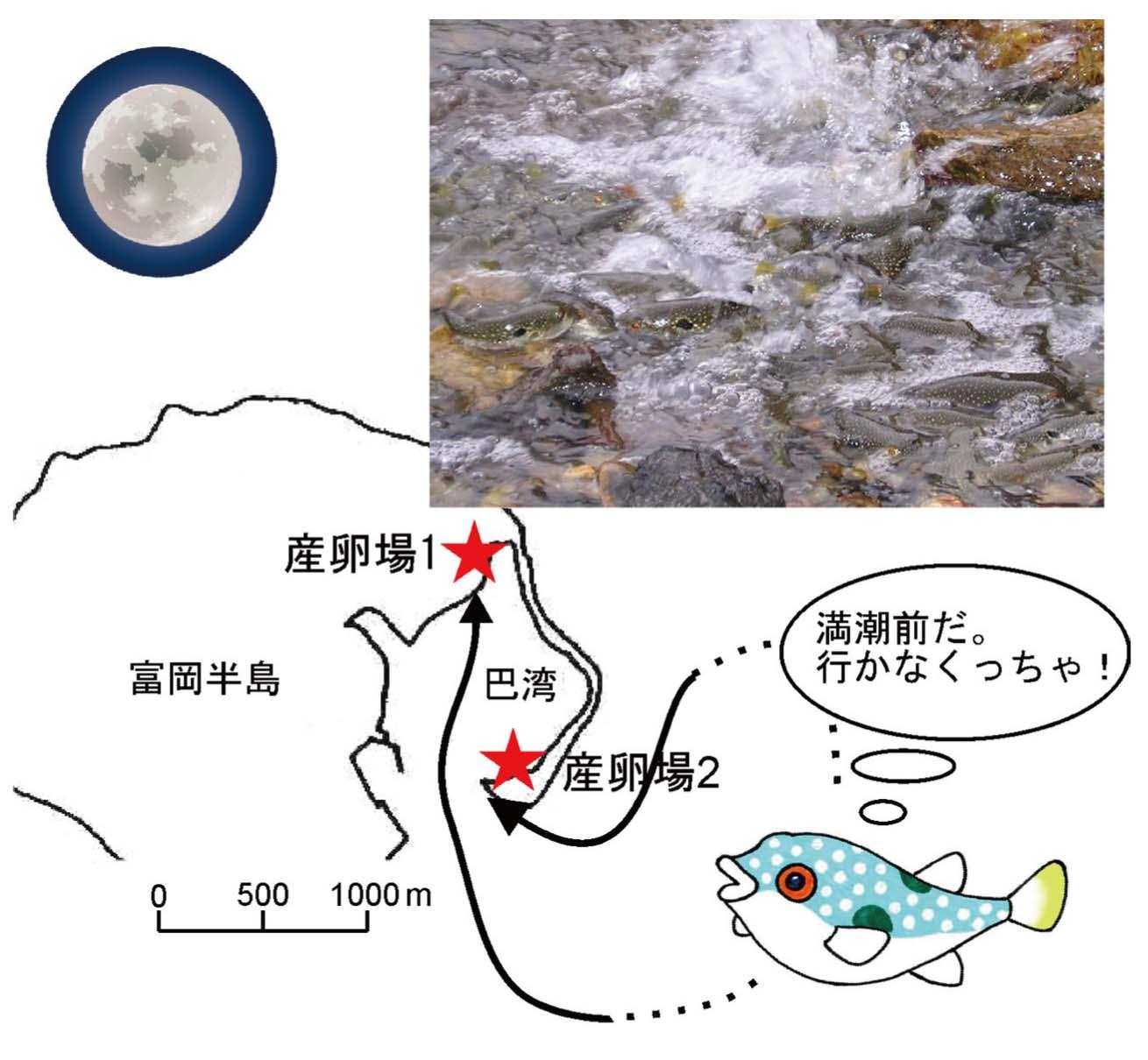 クサフグの半月周性集団産卵回遊