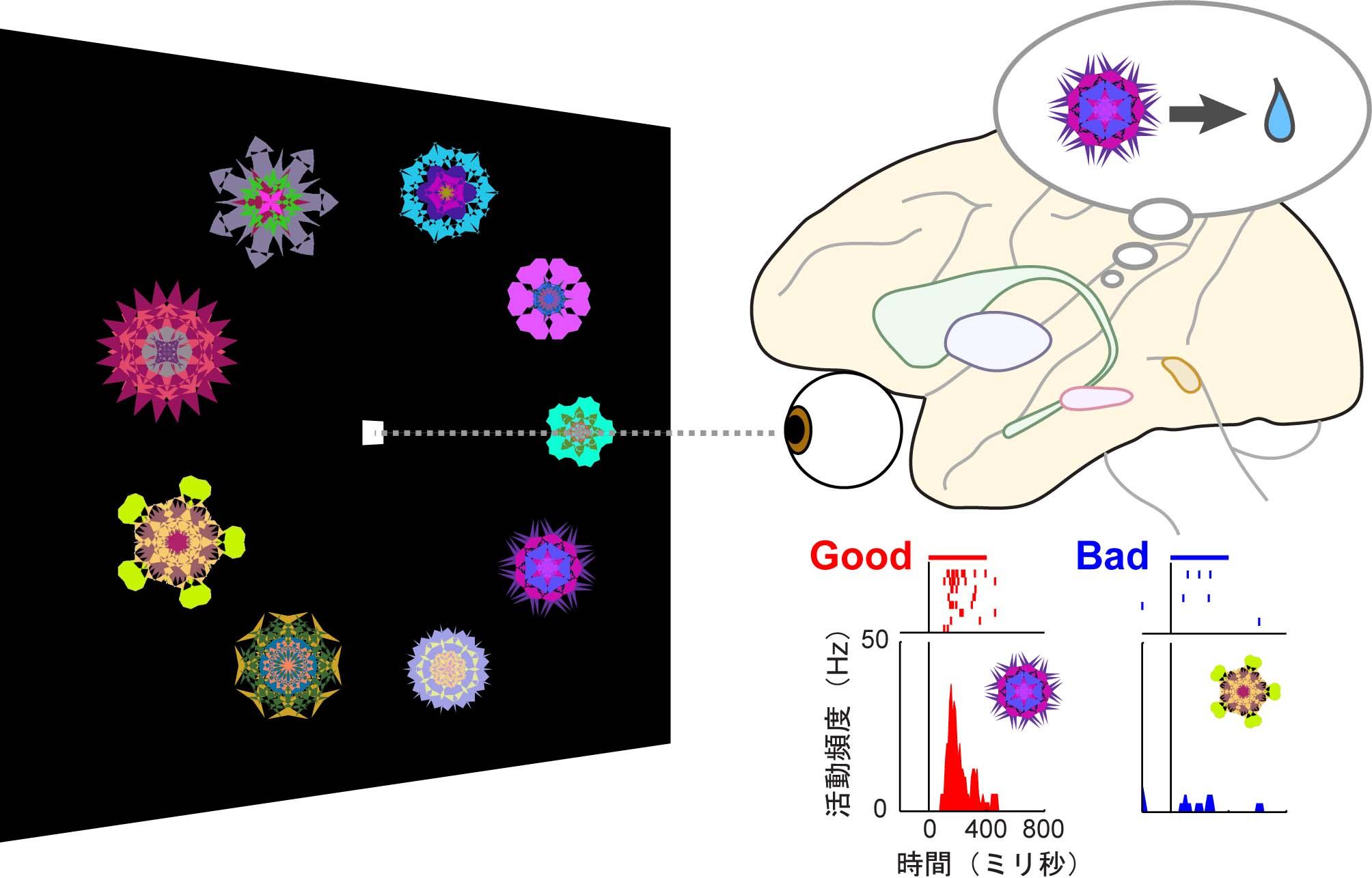 報酬と結びついた図形を探索する課題遂行時のアカゲザル大脳基底核の活動