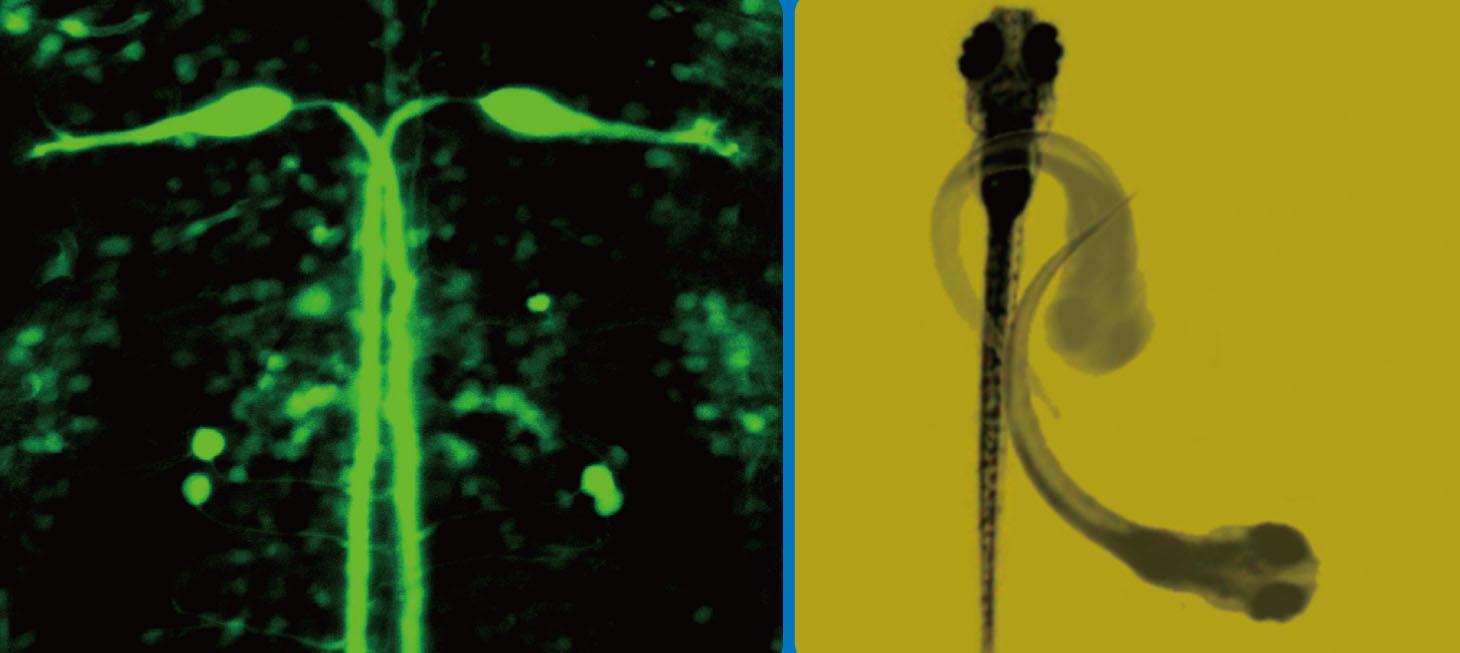 ゼブラフィッシュの逃避運動を駆動するマウスナー細胞